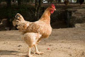 Hur man gör en automatisk kyckling vattnare