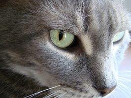 Hur bli av en katt svampinfektion