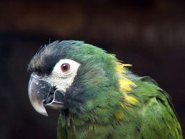 Vård av Senegal papegojan