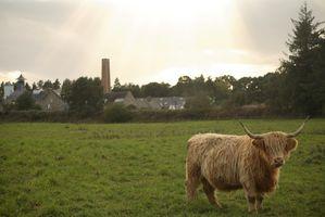 Highland Cattle fakta