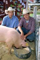 Hur till skapa svin & förgylld för att bedöma