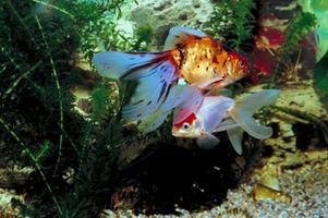 Hur att klara upp en algblomning i en fisk akvarium