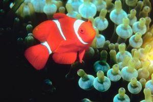 Hur till skapa Clown fisk i ett akvarium