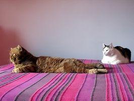 Hur att behandla inflammatorisk tarm hos katter