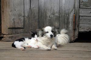 Hur till ta en katt i ett hem med hundar