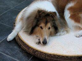 Tecken & symtom av en endokrin obalans hos hundar