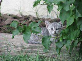 hosta katt symptom