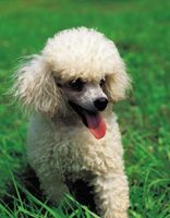 Hur man tränar Mini Poodles