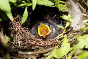 Hur att mata fåglar kyckling barnmat