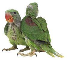 Att Mate och rasen papegojor