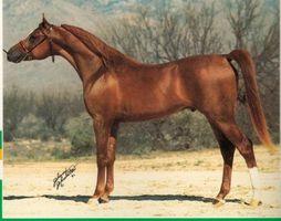 Hur man tränar en Arabian Horse för grimma visar