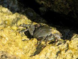 Hur vet jag om en krabba är en ecuadoriansk eremitkräfta