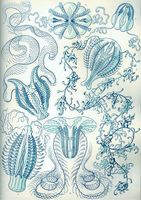 Ctenophora livscykel