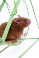 Vilken storlek CC spruta använder du att mata en Hamster?