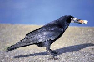 Trial and Error beteenden hos fåglar
