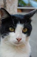 Hur man naturligtvis förhindra Diabetes hos katt