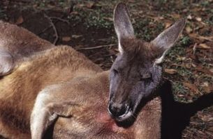 Hur man enkelt dra en känguru