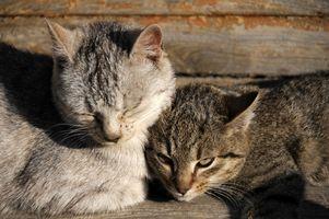 Katter med Calcium oxalat kristaller & behandling