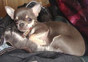 Chihuahuas & kliande hud