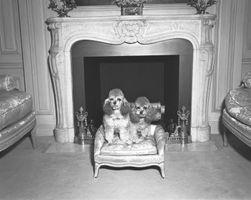 Om Mini Poodles