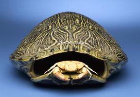 Hur man bevarar sköldpaddsskal