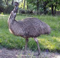 Hur man gård emuer