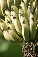 Hur man tecknar bananplantor