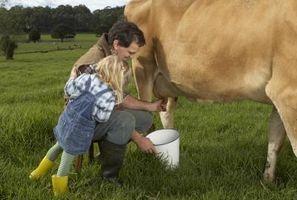 Hur man håller en ko mjölkar