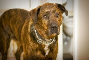 Anafylaktisk chock symtom hos hundar