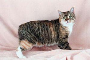 Hur man kan införa nya katt kombinationer av en manlig Manx & en yngre kvinnlig Manx
