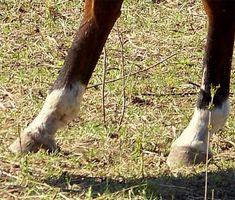 Häst hov sjukdomar & problem