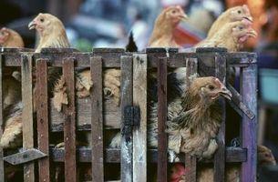 Det enklaste sättet att transportera levande mogna kycklingar