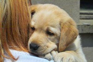 Hur man tränar Labrador hundar