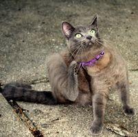Hur man dödar loppor på katter hemma