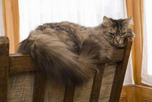 Varför katter är envis