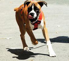 Vad orsakar njursten i Boxer hund?
