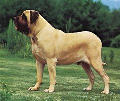 Hur man identifierar en Mastiff