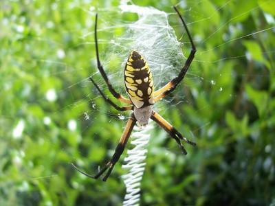 Svarta spindlar som är vanliga i västra North Carolina