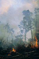 Forest Fire rök effekter på levande träd