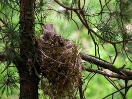 Kommer att förstöra ett bo avskräcka fåglar?