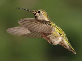 Dräktigheten av en kolibri