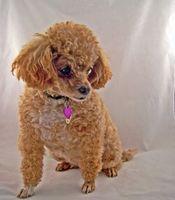 Varför får miniatyr Poodles hundar beslag?