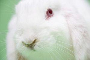 Hur kan man få en kanin koloni