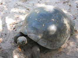 Hur ta hand om Baby Desert sköldpaddor