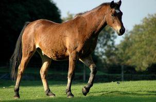 Equine hälsa symtom