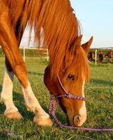 Hur att behandla colon irritabile i hästar