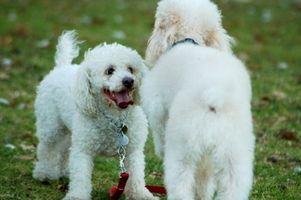 Selegilin HCL för Cushing sjukdom i husdjur