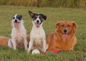Intestinal Cancer hos hundar