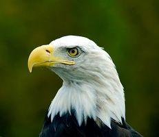 American Bald Eagle vanor & livsmiljö