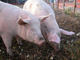 Hur man behandlar fjällande gris öron